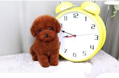 Tiny poodle cũng là 1 dòng được ưa chuộng