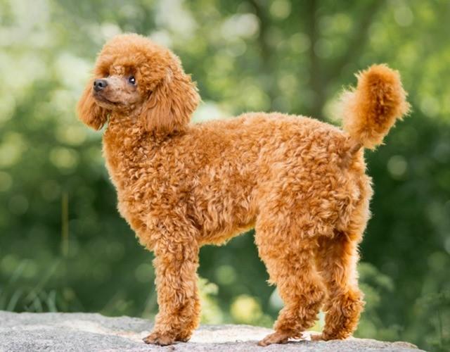 Hình ảnh về Miniature Poodle nâu đỏ