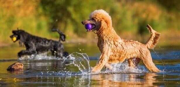 Poodle nâu đỏ được huấn luyện chuyên nghiệp