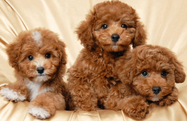 Bán chó poodle nổi tiếng
