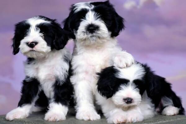 Poodle là một trong những màu sắc hiếm có chỉ đứng sau Poodle xám