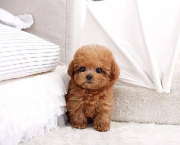 Chó Poodle có hôi không