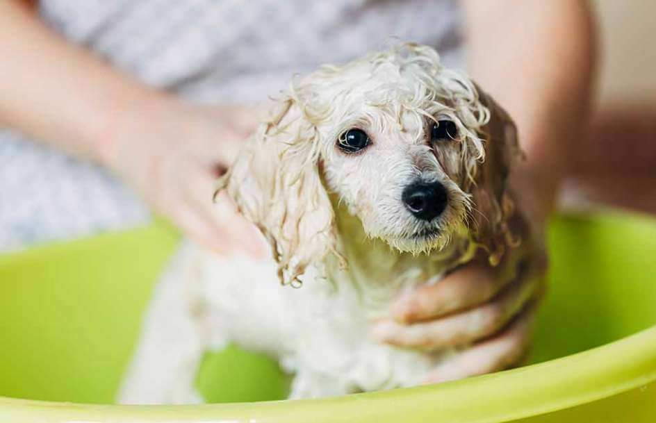 Tắm cho chó Poodle