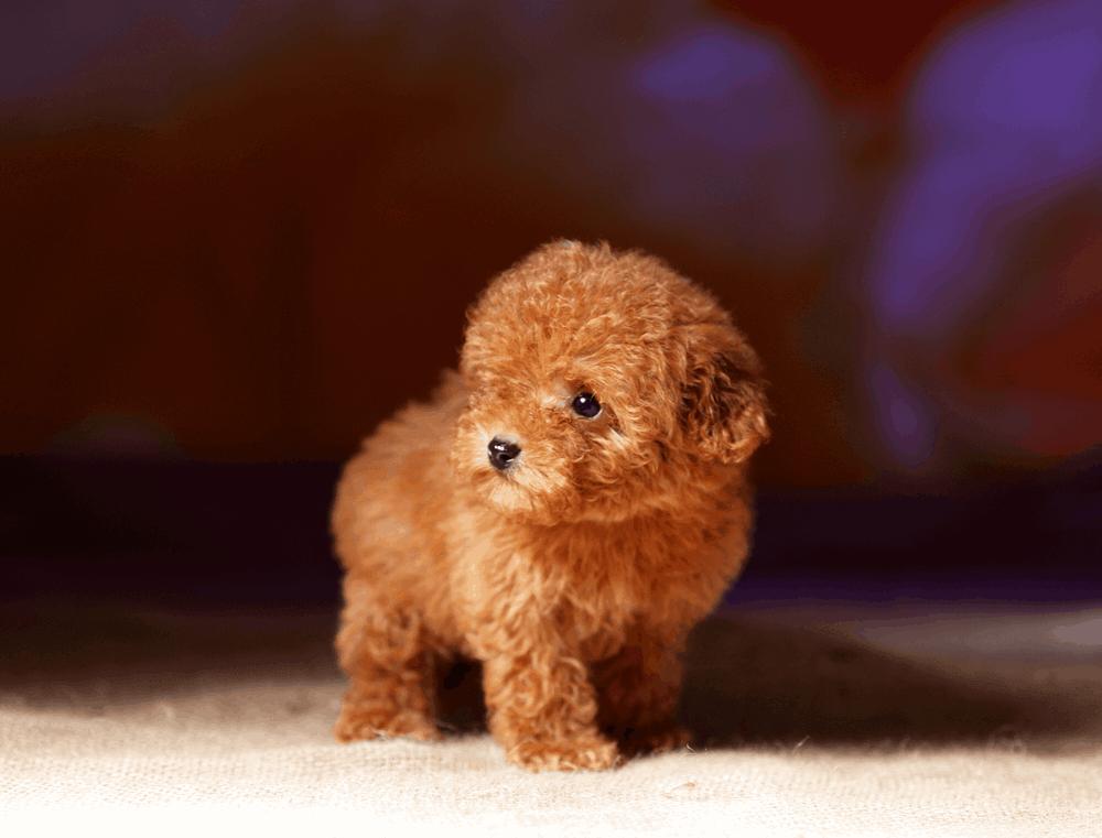Nhân giống chó Poodle tốt